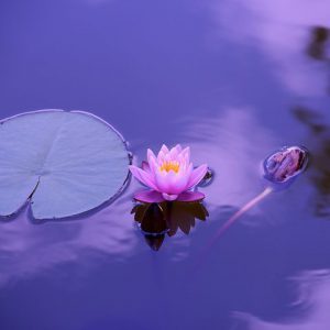 lotus spirituality: zebra soul art